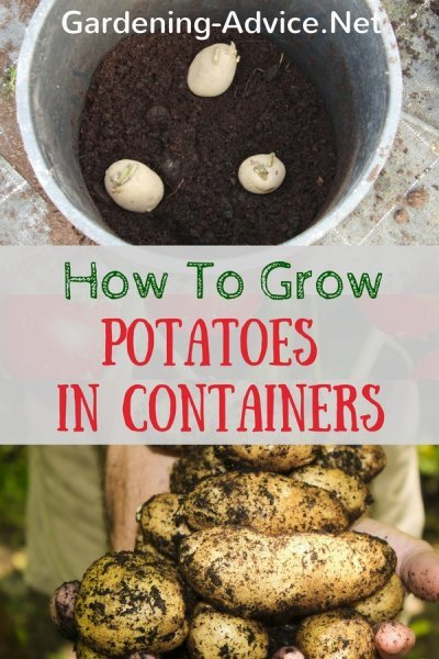 how to grow potatoes in conatiners