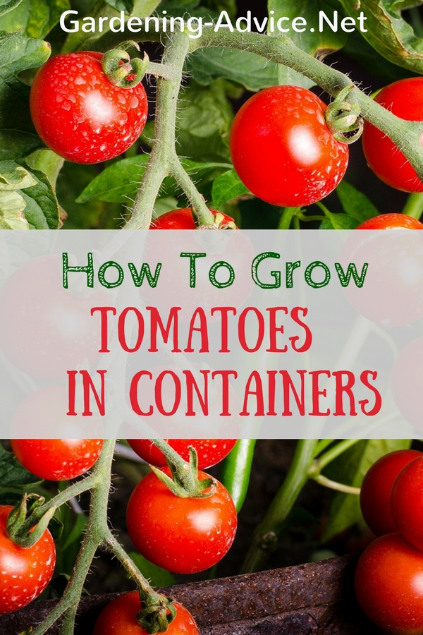 how to grow tomatoes in conatiners