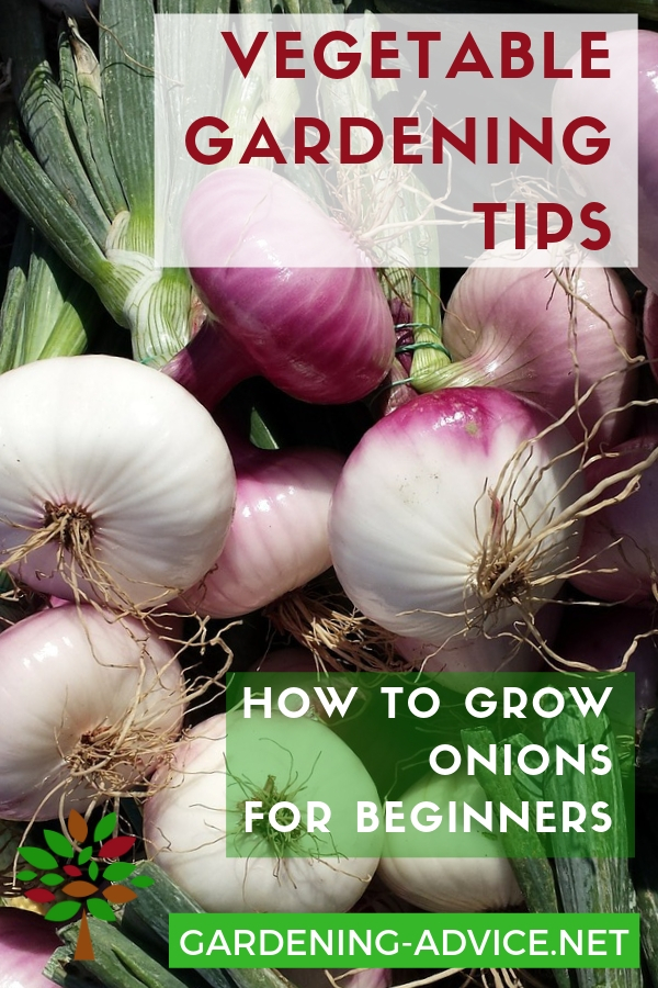 Beginners Tips For Growing Onions