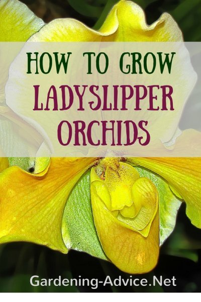 orchid care tips for Paphiodeliums