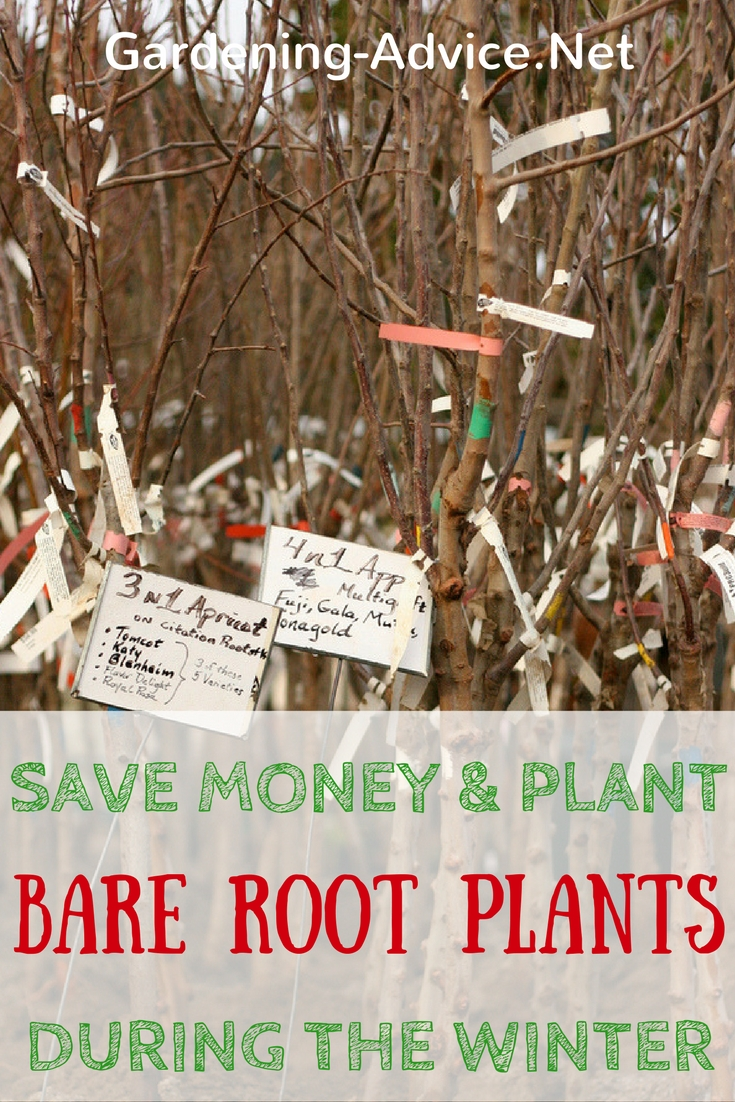 Planting Bare Root Trees, Fruit Bushes And Roses Saves Money!