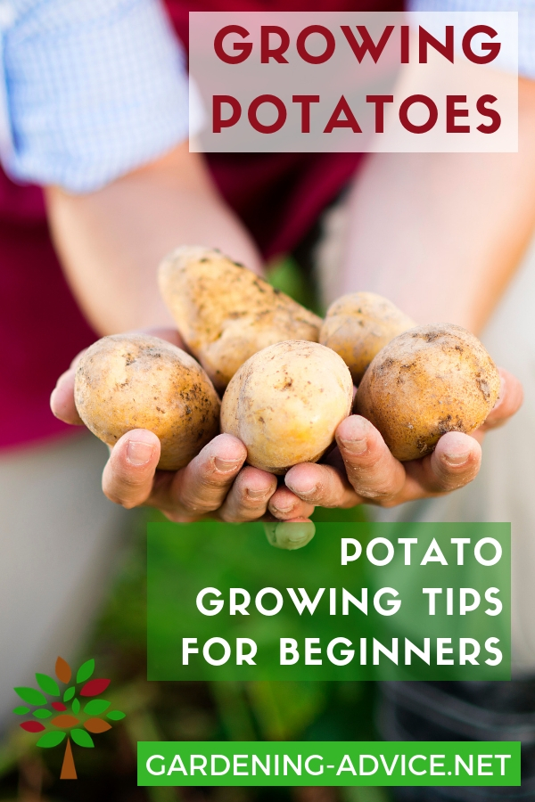 Beginners tips for growing potatoes #gardening #gardeningtips #permaculture  #homesteadgarden #organicgardening #homesteading #urbangardening #vegetablegardening #growingfood