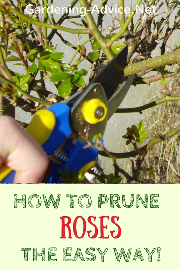 Pruning roses made easy!