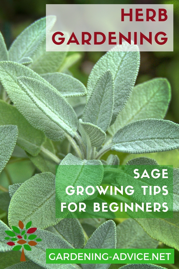 Sage is a favorite herb in my the herb garden. Click here to learn how to grow this yummy herb  #gardening #gardeningtips #organicgardening #homesteading #herbs #herbgardening #herbgarden