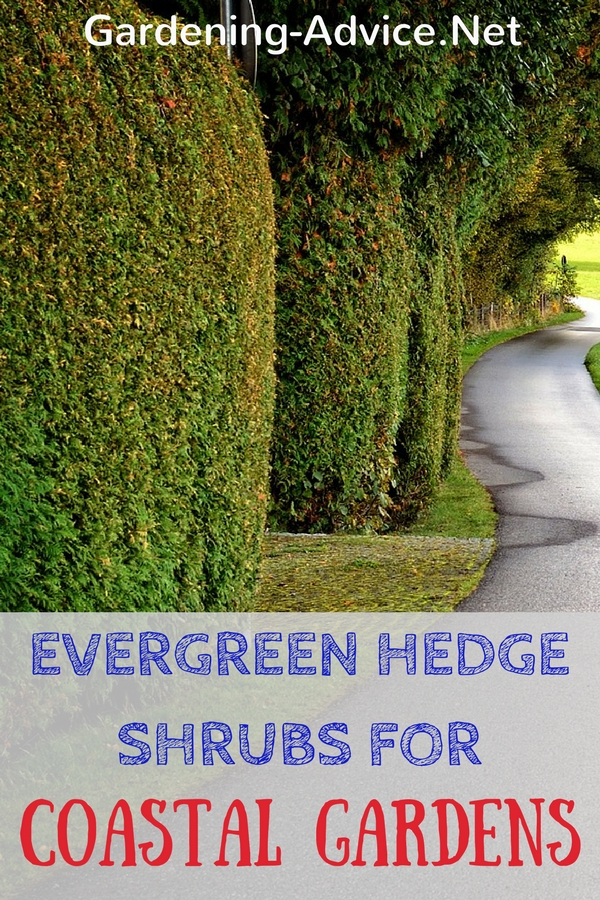 Evergreen Hedge Shrubs For Coastal Gardens