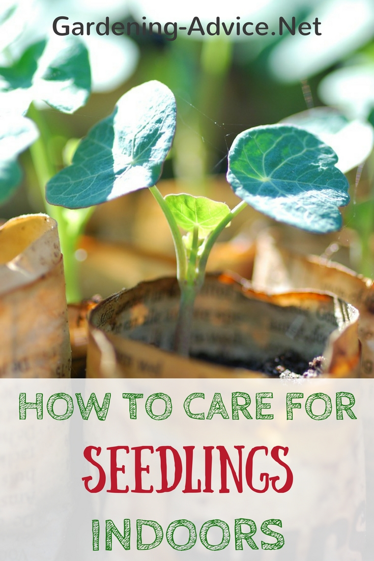 How to care for vegetable seedlings indoors #gardeningtips #organicgardening #urbangardening #homesteadgarden #homesteading #gardening