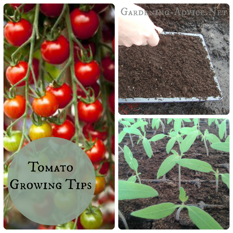 tomato growing tips collage