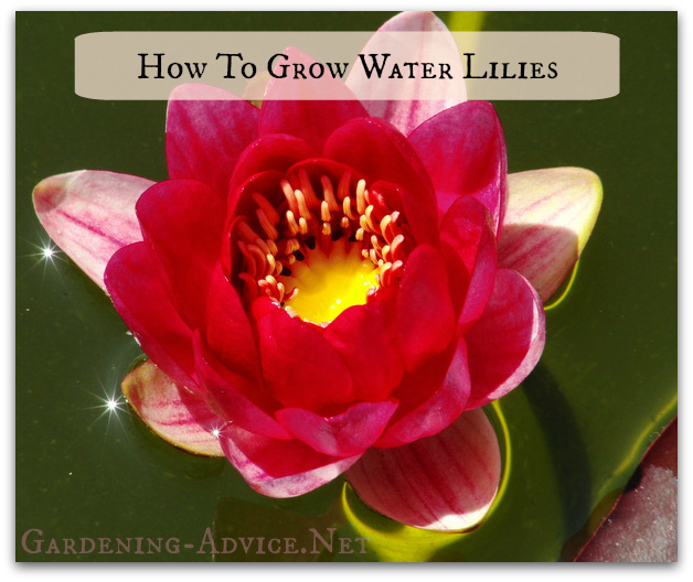 how to grow water lilies