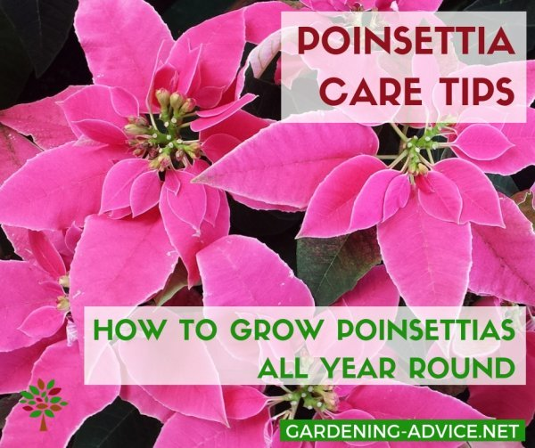 Poinsettia House Plant: Tips For Growing Poinsettias