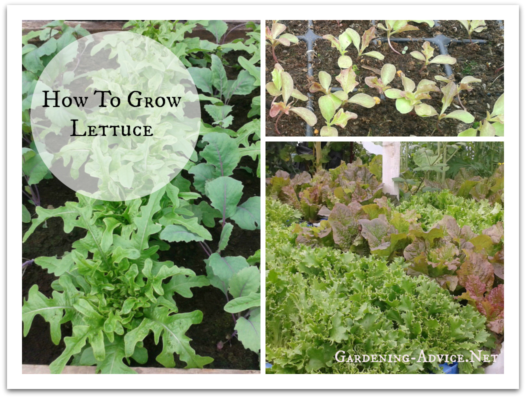 growing lettuce collage
