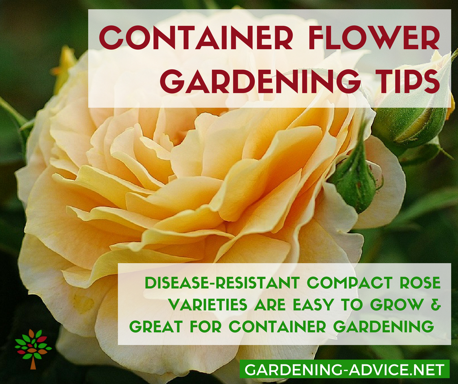 Container Gardening With Rose #containergardening #gardeningtips #roses #flowergardening #gardenideas