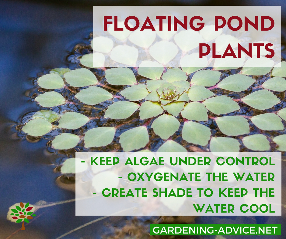 Floating pond plants keep the water free from algae #gardeningtips #gardening #watergardening #ponds #permaculture #organicgardening