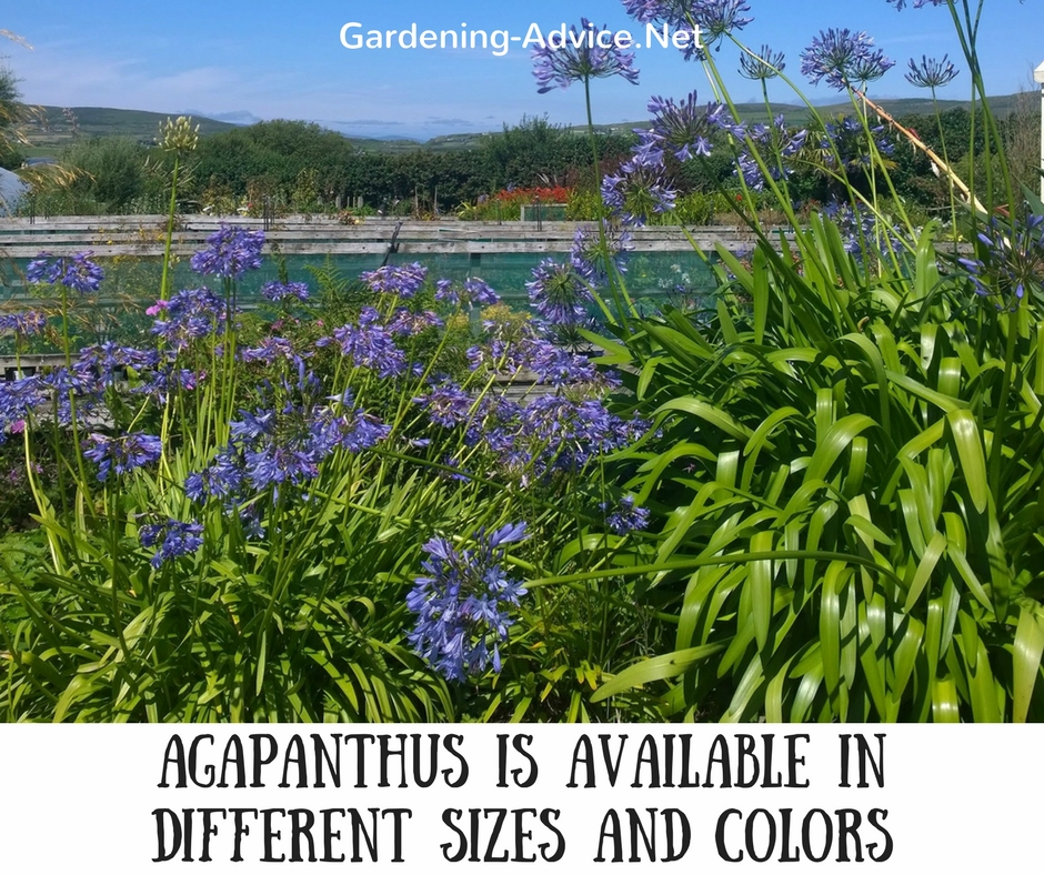 Agapanthus is available in different sizes and colors
