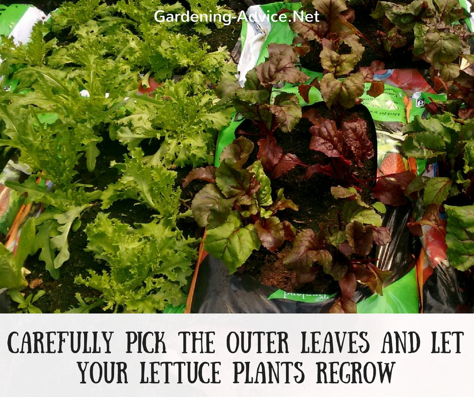 how to grow lettuce in bags of potting soil