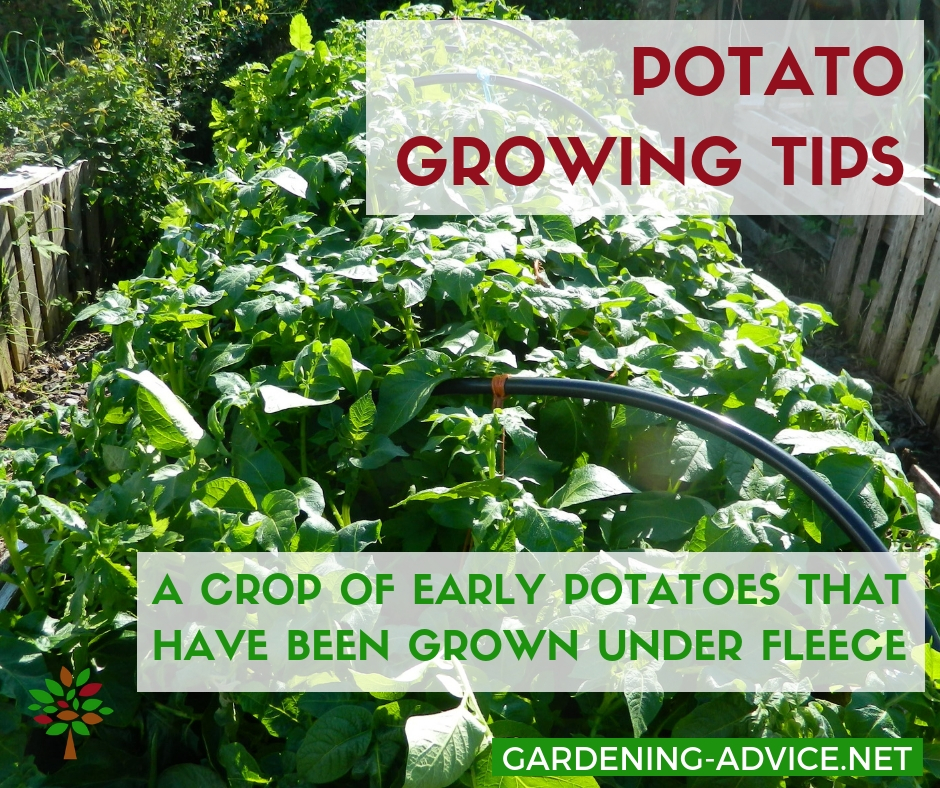 Early potato 'Colleen' growing in raised beds #gardening #gardeningtips #permaculture  #homesteadgarden #organicgardening #homesteading #urbangardening #vegetablegardening #growingfood
