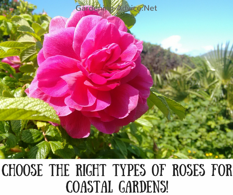 rose types for coastal gardens