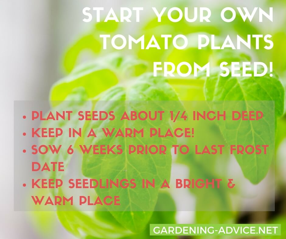 Start your own tomato plants from seed! #gardeningtips #gardening #tomatoes #urbangardening #organicgardening #homesteading