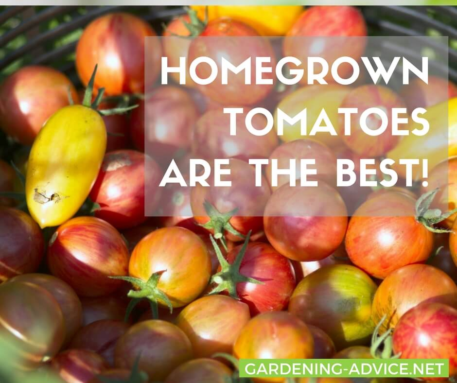 Grow your own tomatoes! #gardeningtips #gardening #organicgardening #tomatoes #urbangardening #homesteading