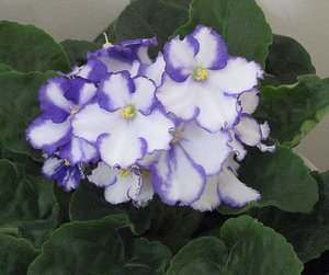 How to grow african violet plants blue andwhite saintpaulia flowers pretty blue and white flowers mightylinksfo
