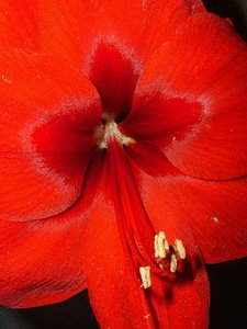 Amaryllis Red Lion - a beautiful red Amaryllis