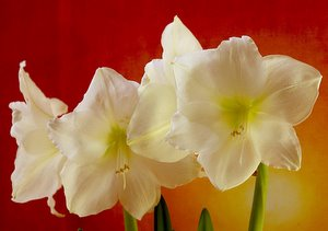 A yellow Amaryllis