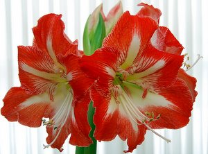 Amaryllis Care How To Care For Amaryllis Bulbs