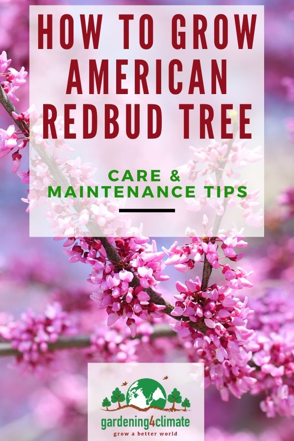 The American Redbud Tree Cercis Canadensis