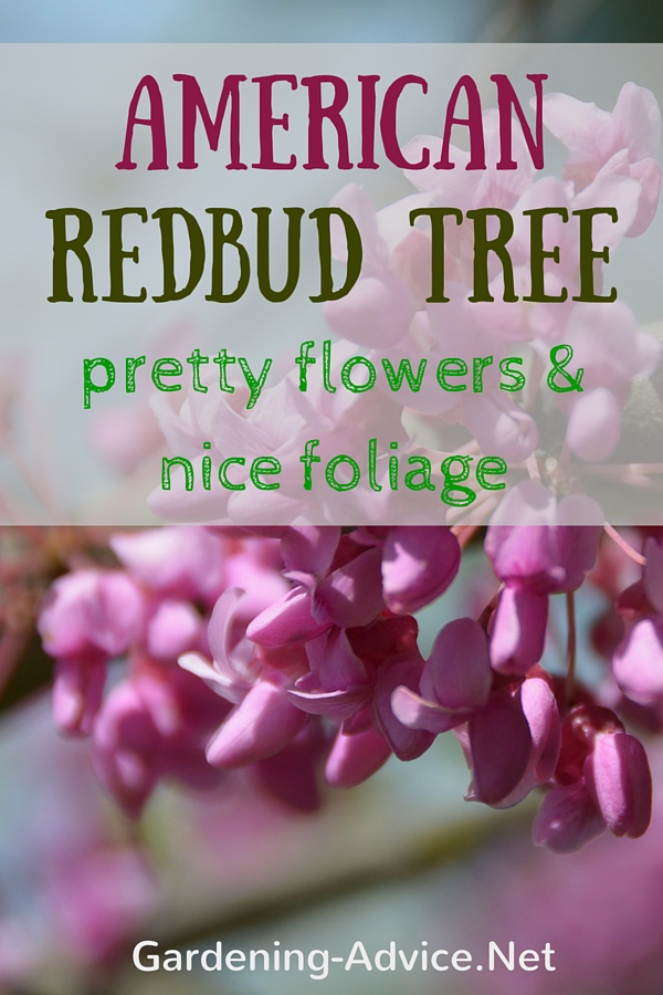 redbud tree pin