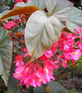 Angelwing Begonia with spotted foliage and beautiful flowers