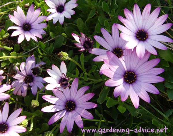 Osteoum Also Called African Daisies Are Easy To Grow Annuals That Will Flower Continuously All Summer Long