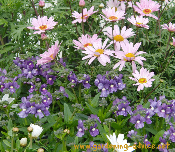 annual plants - Argyranthemum and Nemesia