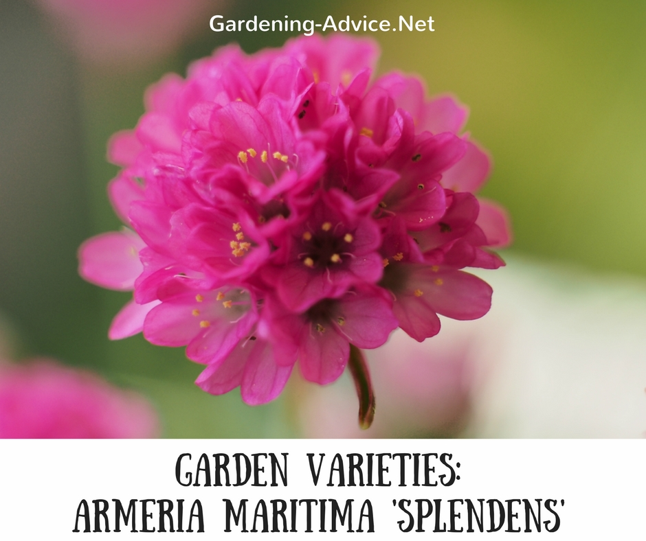Armeria maritima count on sea thrift in your coastal garden armeria maritima splendens mightylinksfo