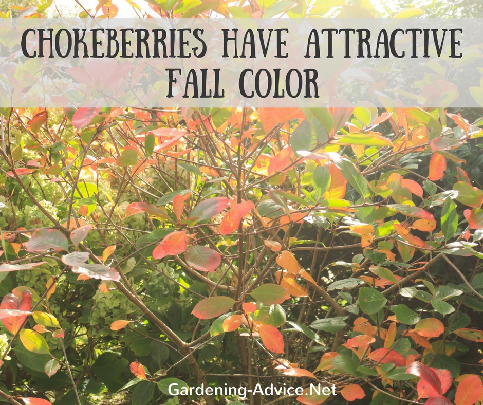 Aronia fall color