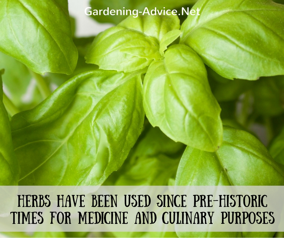 herbs for medical and culinary purpose