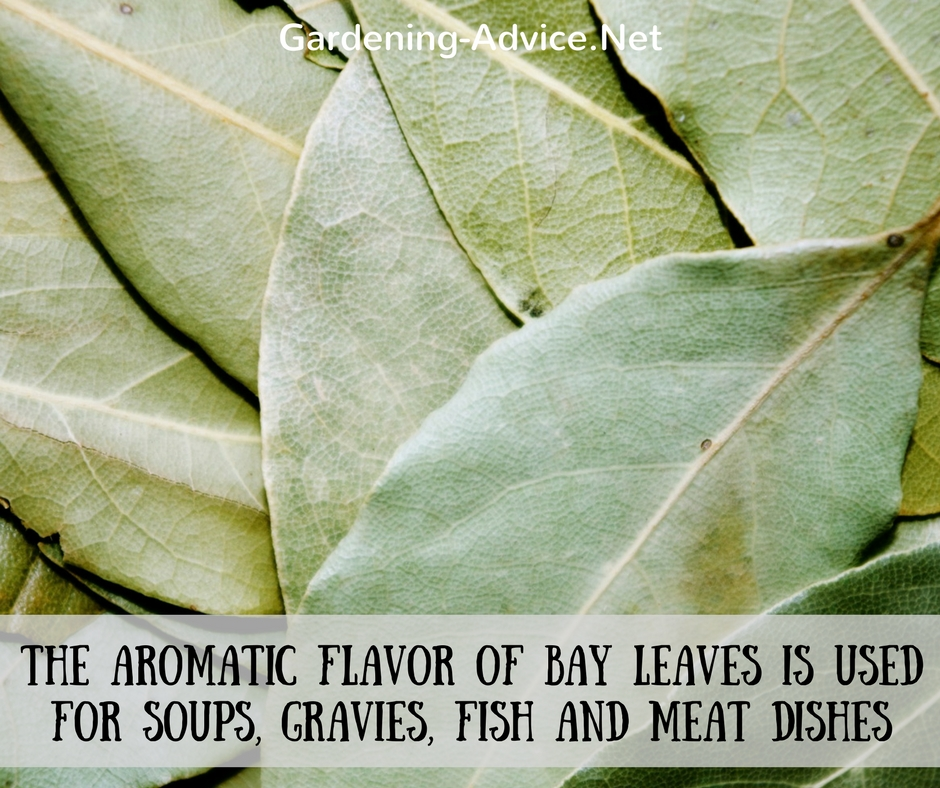 The bay leaf plant how to grow a bay leaf tree as a culinary herb - Cook bay leaves ...