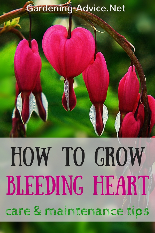 How To Grow Bleeding Heart Plants