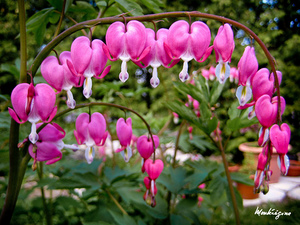 The bleeding heart plant you can find a selection of bleeding heart varieties here mightylinksfo