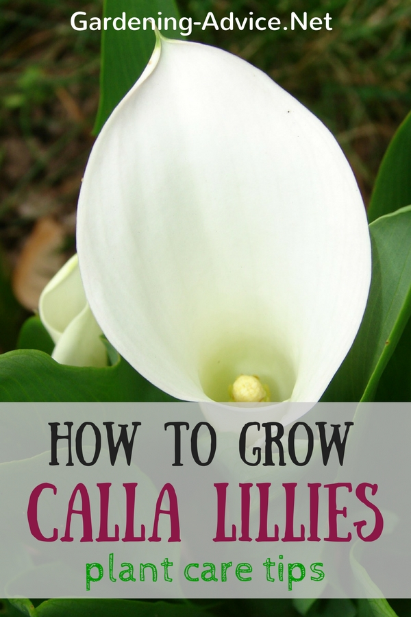 calla lily plant care tips how to grow arum lily bulbs. Black Bedroom Furniture Sets. Home Design Ideas