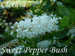 Flower Clethra Shrub