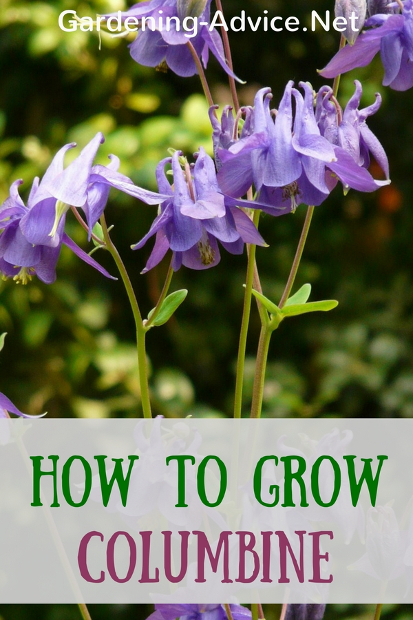 How To Grow Columbine Flowers