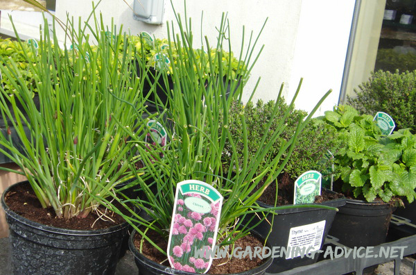 container herb garden plants