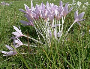 The Autumn or Meadow Crocus - Colchicum autumnale