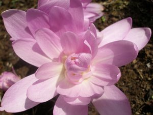 Colchicum 'Water Lily' - an Autumn Crocus
