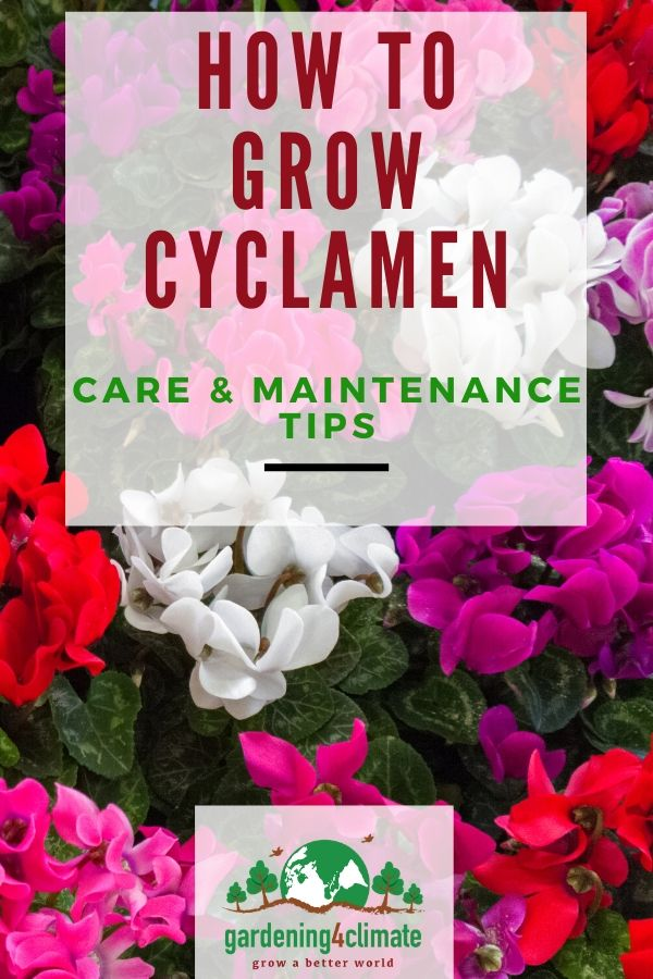 Cyclamen Plant Care How To Grow Colorful Cyclamen