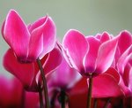 cyclamen plant problems,pink cyclamen flower