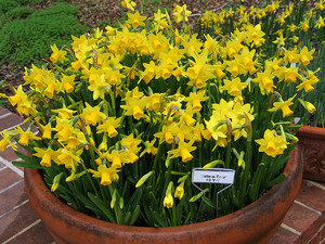Planting Daffodil Bulbs And Narcissus Flowers For Spring Color
