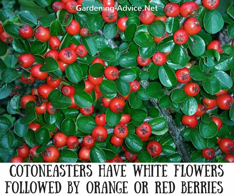 10 dwarf evergreen shrubs for coastal gardens bearberry cotoneaster cotoneaster dammeri mightylinksfo Gallery
