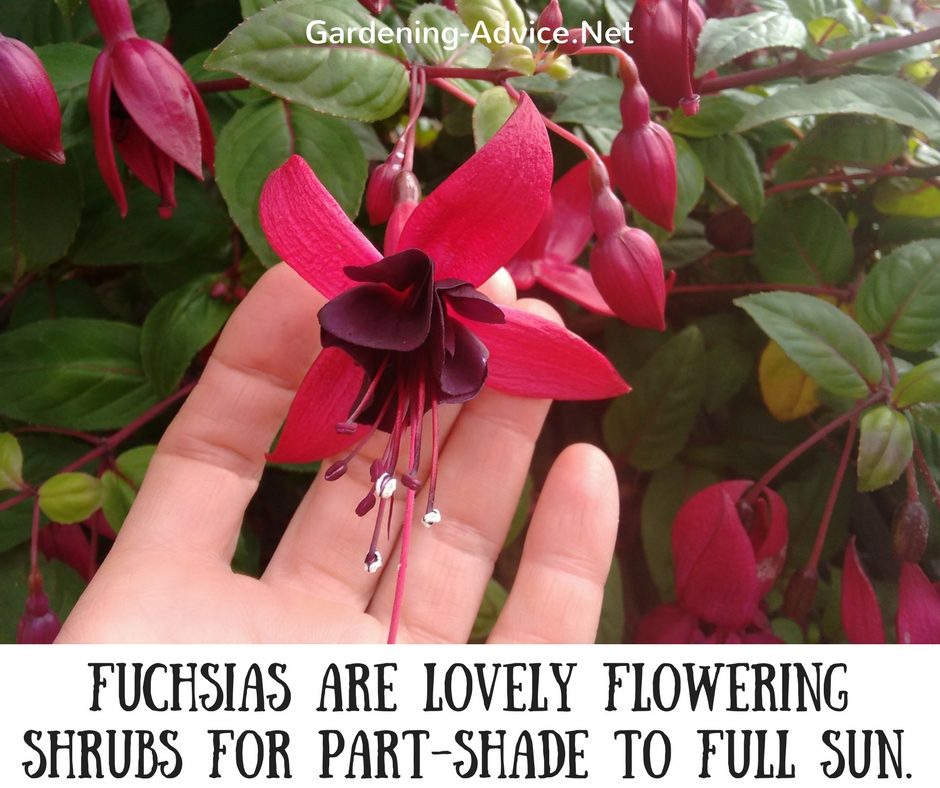 Compact Fuchsias are lovely deciduous, dwarf flowering shrubs for part-shade to full sun. They can be grown in flower beds, mixed borders or containers.