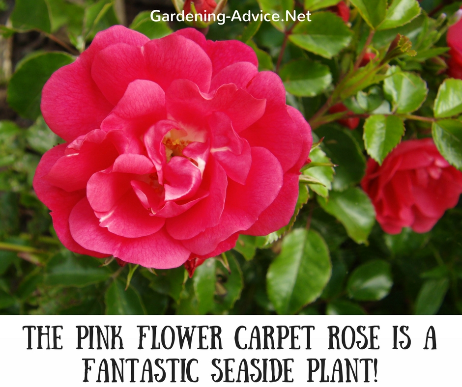 Flower Carpet Rose