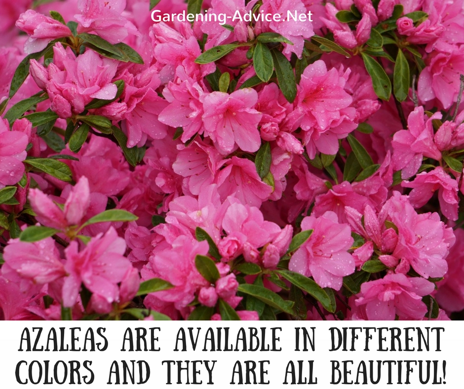 Dwarf, evergreen azaleas are a great addition to any garden. These spring flowering shrubs grow 2 to 3 feet high and wide and need a moist but well-drained, ...
